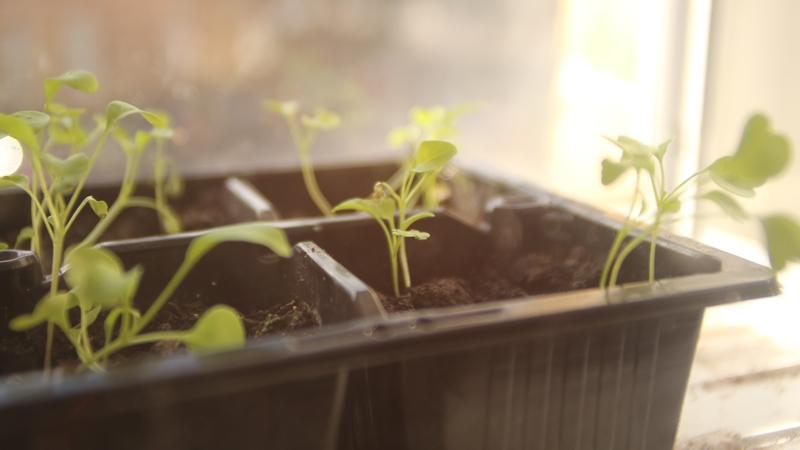 Rocket Seedlings on a windowsill