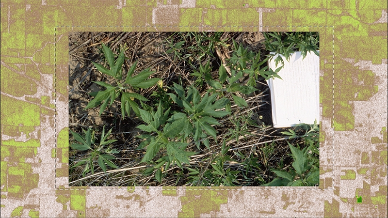 A green and brown patchwork graphic over laid by a  photograph of a green plant with palmate leaves on scrubby ground